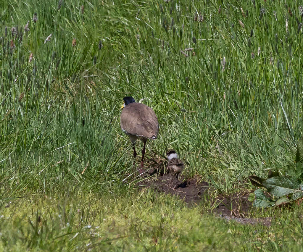 Heritage_Park-Plover_with_chick-3515