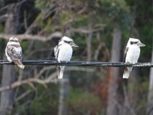 Kookaburras Arve Road Geeveston