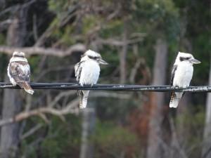 Kookaburras Arve Road Geeveston